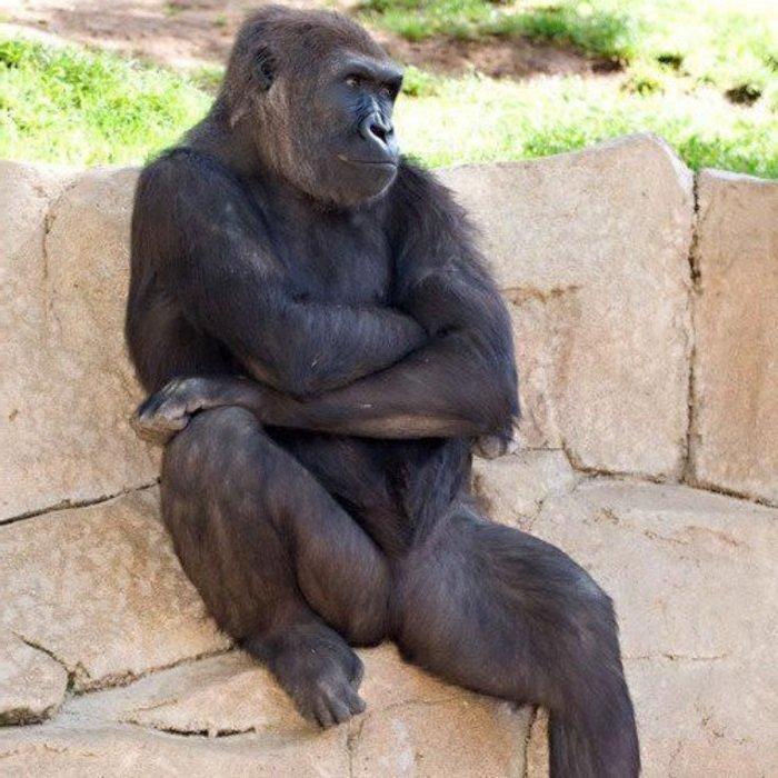 нарцисс горилла