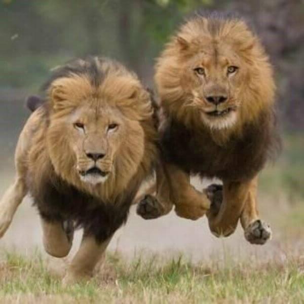 бегущие львы