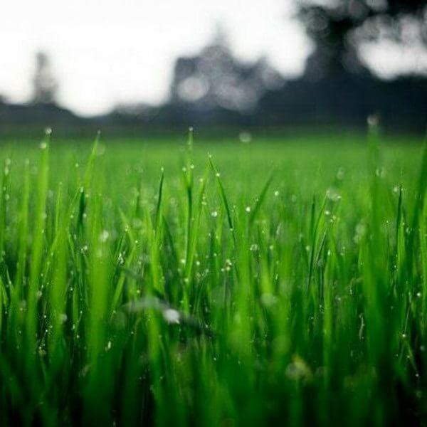 мокрая трава