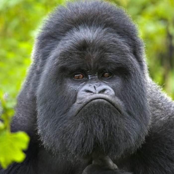 имидж обезьяна