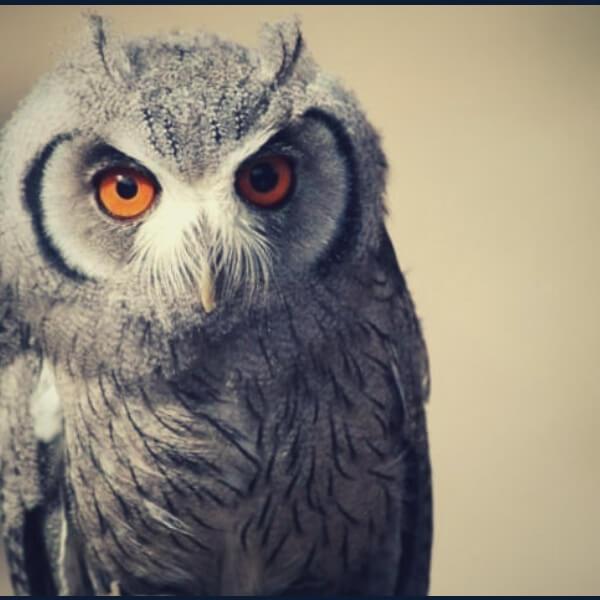серьезная сова