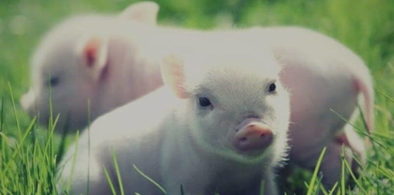 животное свинья в траве